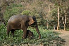 De olifant van Azië in Thailand Stock Foto's