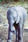 De olifant van de baby Royalty-vrije Stock Foto's
