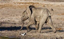 De Olifant van de baby (africana Loxodonta) stock afbeeldingen