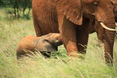 De olifant van de baby het voeden Stock Foto