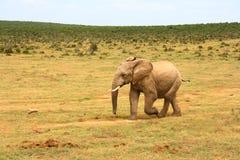 De olifant van de baby, Zuid-Afrika Stock Foto