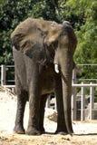 De Olifant van de dierentuin Stock Foto's