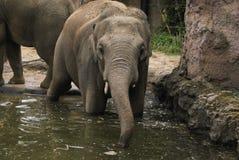 De olifant van de gevangenschapsdierentuin Stock Foto