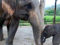 De Olifant van de moeder & van de Baby Royalty-vrije Stock Fotografie