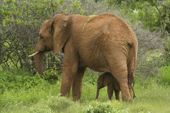 De olifant van de moeder en van de baby Royalty-vrije Stock Afbeelding