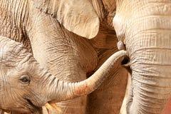 De olifant van de moeder en van het kind in de dierentuin van Lissabon, Portugal Stock Foto's