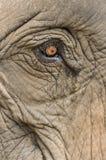 De olifant van een olifant, sluit omhoog geschoten royalty-vrije stock afbeelding