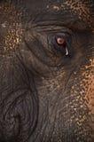 De olifant van het oog Royalty-vrije Stock Fotografie
