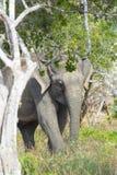 De olifant van Srilankan (Elephas-maximusmaximus) Royalty-vrije Stock Fotografie