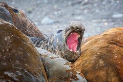De olifant verzegelt allen die samen hun huid in Antarctica ruien stock foto's