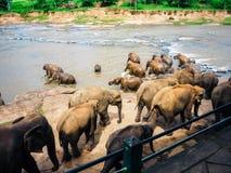 De olifanten baden in de Oya-rivier in Sri Lanka, Pinnawala-Olifantsweeshuis royalty-vrije stock foto