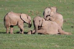De Olifanten die van de baby Spelen spelen Stock Fotografie