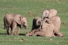 De Olifanten die van de baby Spelen spelen Stock Afbeelding