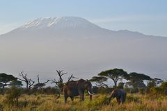 De olifanten en zetten Kilimanjaro op Stock Fotografie