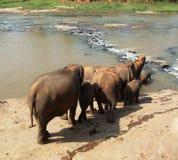 De olifanten lopen aan rivier Stock Foto