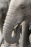 De Olifanten van Afrika (africana Loxodonta) Stock Afbeeldingen