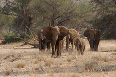 De Olifanten van de woestijn stock foto's