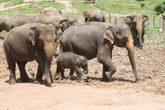 De Olifanten van Lankan van Sri stock afbeelding