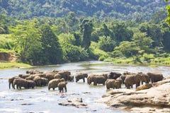De Olifanten van Lankan van Sri in Water stock foto's