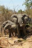 De Olifanten van Ruaha Stock Foto