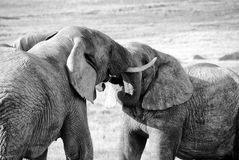 De olifanten worstelen Royalty-vrije Stock Foto's