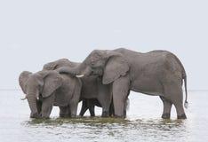 De olifanten zwemmen in het water stock foto's