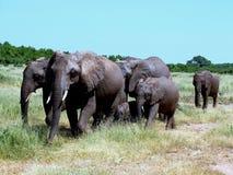 De olifantsfamilie gaat naar lunch Royalty-vrije Stock Afbeeldingen