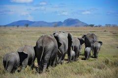 De olifantskudde zwerft de weiden van Serengeti stock afbeeldingen