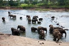 De olifantsweeshuis van Pinnawala Royalty-vrije Stock Foto's