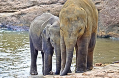 De olifantsweeshuis van Pinnawala Stock Fotografie