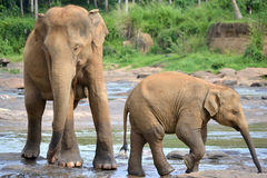 De olifantsweeshuis van Pinnawela Stock Fotografie