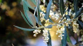 De olijf vertakt zich ongeveer in bloei in de lente, beweging van zachte kamer te verlaten stock footage
