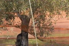 De olijfbomen van de oogst stock foto's