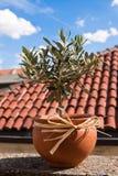De olijfboom Stock Fotografie
