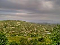 De olijfboom van Andalucia´s Stock Fotografie
