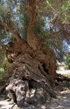 De olijfboom van Vouves Royalty-vrije Stock Afbeeldingen