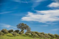 De olijfgaard van Toscanië in zonneschijn onder blauwe hemel Stock Foto's