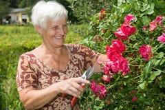 de oma snijdt bloemen en rode rozen in tuin Stock Afbeelding