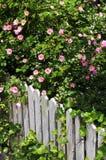 De omheining van de tuin met rozen Royalty-vrije Stock Afbeeldingen