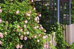 De omheining van de tuin met rozen Stock Foto's