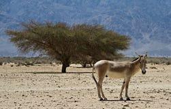 De onager bruine Aziatische wilde ezel stock fotografie