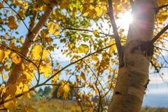De onderbrekingen van de zonstraal door het gele gebladerte van berk tegen de blauwe hemel royalty-vrije stock afbeeldingen