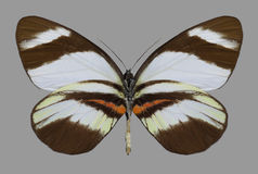 De onderkant van vlinderperrhybris Lorena Stock Foto
