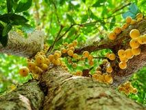 De Ondermening, Thais fruit rambeh over de rambiboom Stock Foto