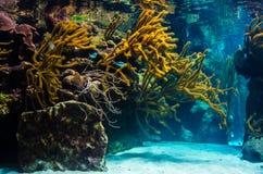 De onderwaterachtergrond van het koraalriflandschap in het blauwe overzees Royalty-vrije Stock Foto's