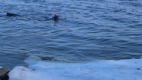 De onderwaterduiker zwemt dichtbij ijzige rivierbank Scuba-duiker in de winterrivier stock footage