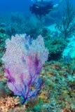 De onderwaterscène met grote purple drijft ventilator en scuba-duiker bijeen stock afbeeldingen