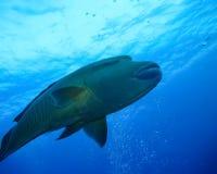 De onderwaterwereld in diep water in koraalrif en de flora van installatiesbloemen in het blauwe wereld mariene wild, Vissen, kor stock afbeeldingen