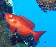 De onderwaterwereld in diep water in koraalrif en installaties bloeit flora in het blauwe wereld mariene wild, Vissen, koralen en royalty-vrije stock afbeelding