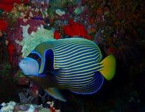 De onderwaterwereld in diep water in koraalrif en installaties bloeit flora in het blauwe wereld mariene wild, Vissen, koralen en royalty-vrije stock foto's